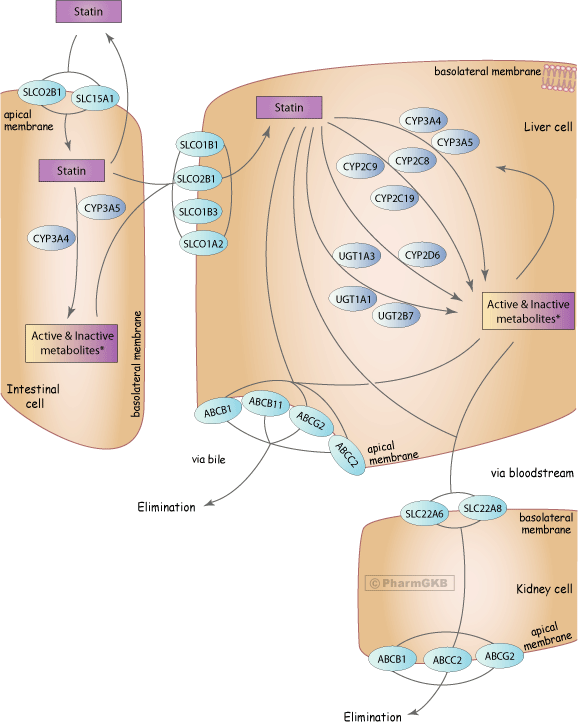 Statin Pathway - Generalized, Pharmacokinetics