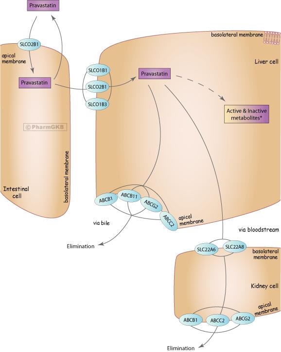 Pravastatin Pathway, Pharmacokinetics