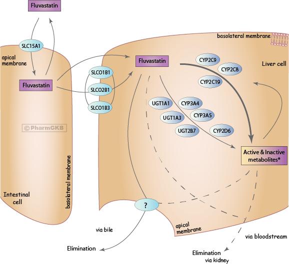 Fluvastatin Pathway, Pharmacokinetics