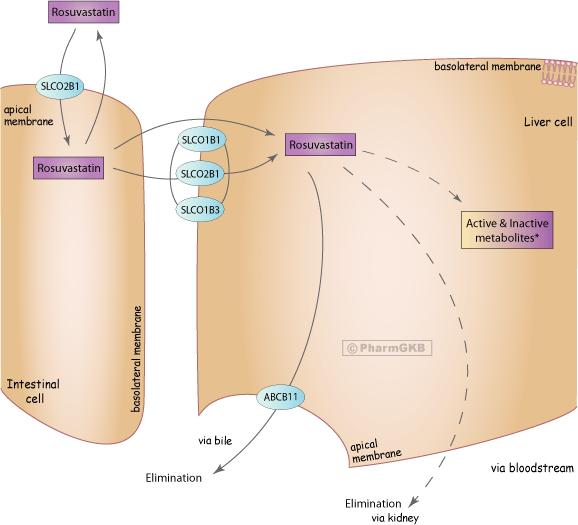 Rosuvastatin Pathway, Pharmacokinetics