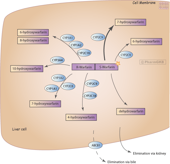 Warfarin Pathway, Pharmacokinetics
