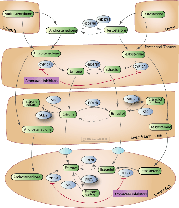 Aromatase Inhibitor Pathway (Multiple Tissues), Pharmacodynamics