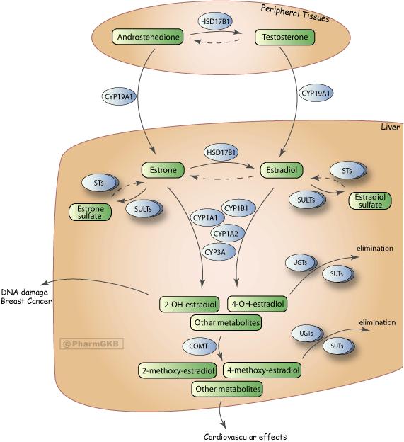 Estrogen metabolism pathway overview pharmgkb estrogen metabolism pathway diagram ccuart Image collections