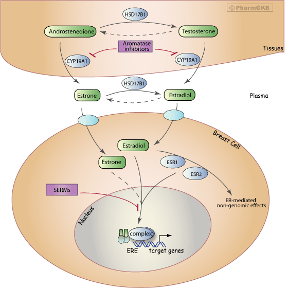 Aromatase Inhibitor Pathway (Breast Cell), Pharmacodynamics