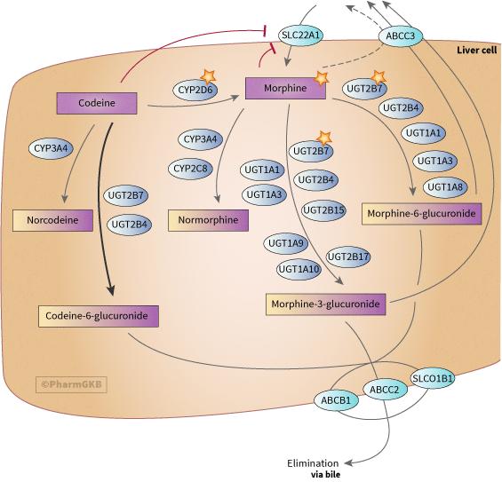 codeine and morphine pathway, pharmacokinetics diagram