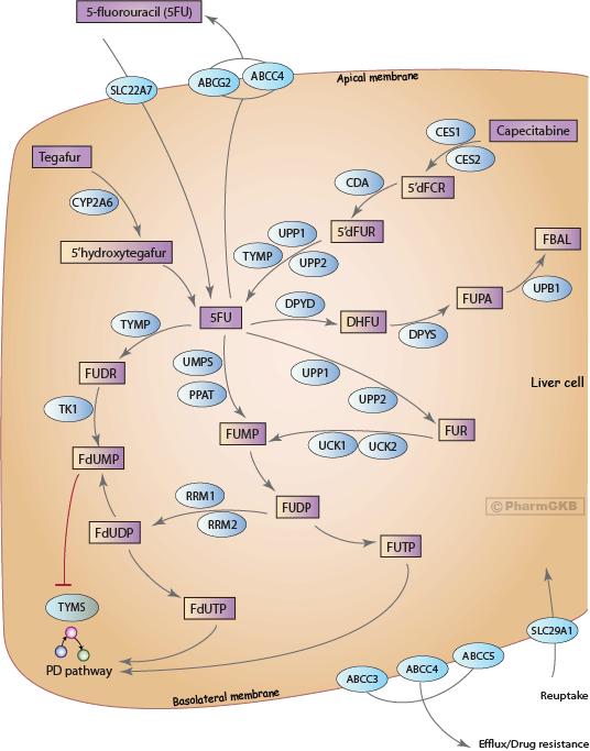 Fluoropyrimidine Pathway, Pharmacokinetics