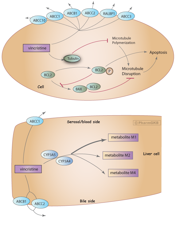 Vinka Alkaloid Pathway, Pharmacokinetics