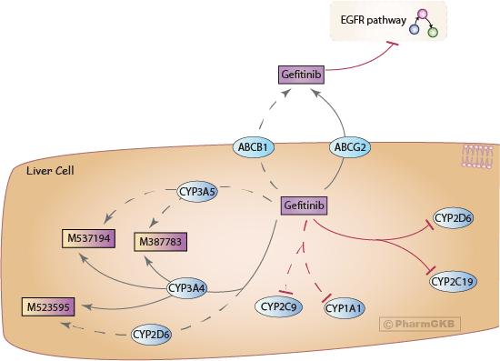Gefitinib Pathway, Pharmacokinetics