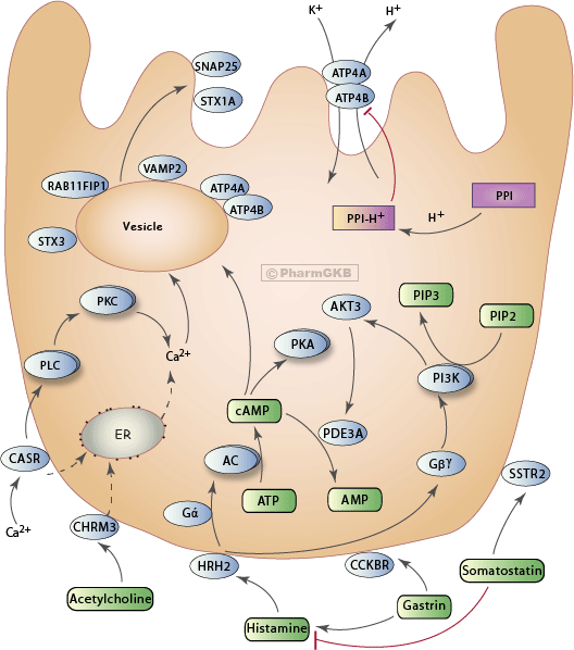 Proton Pump Inhibitor Pathway, Pharmacodynamics