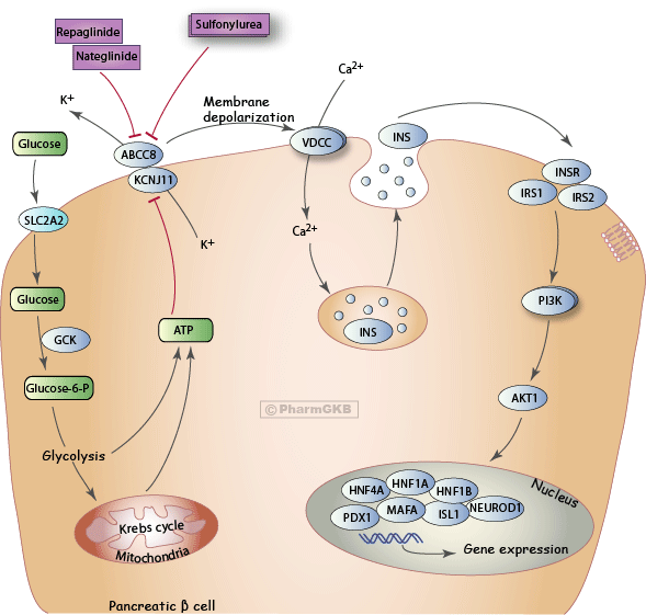 Anti-diabetic Drug Potassium Channel Inhibitors Pathway, Pharmacodynamics