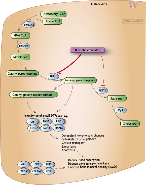 Bisphosphonate Pathway, Pharmacodynamics