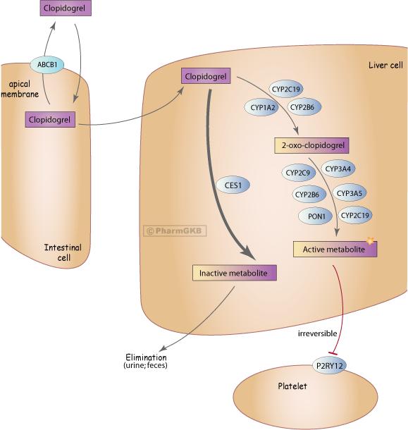 Clopidogrel Pathway, Pharmacokinetics