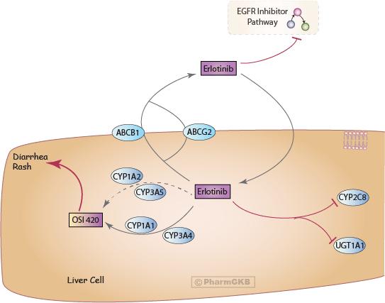 Erlotinib Pathway, Pharmacokinetics