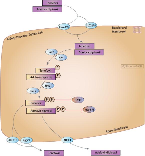 Tenofovir/Adefovir Pathway, Pharmacokinetics