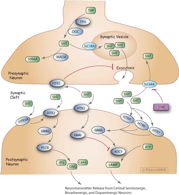 Selective Serotonin Reuptake Inhibitor Pathway, Pharmacodynamics