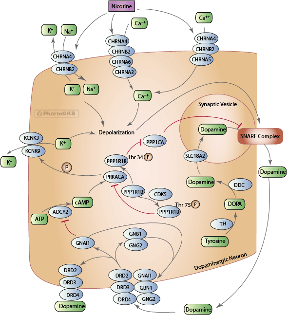 Nicotine Pathway (Dopaminergic Neuron), Pharmacodynamics