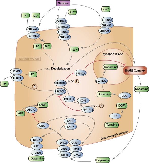 Nicotine pathway dopaminergic neuron pharmacodynamics overview nicotine pathway dopaminergic neuron pharmacodynamics diagram ccuart Choice Image