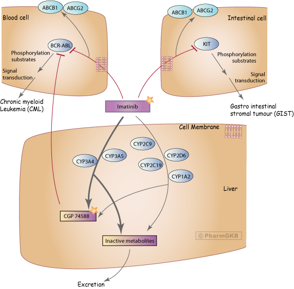 Imatinib Pathway, Pharmacokinetics/Pharmacodynamics