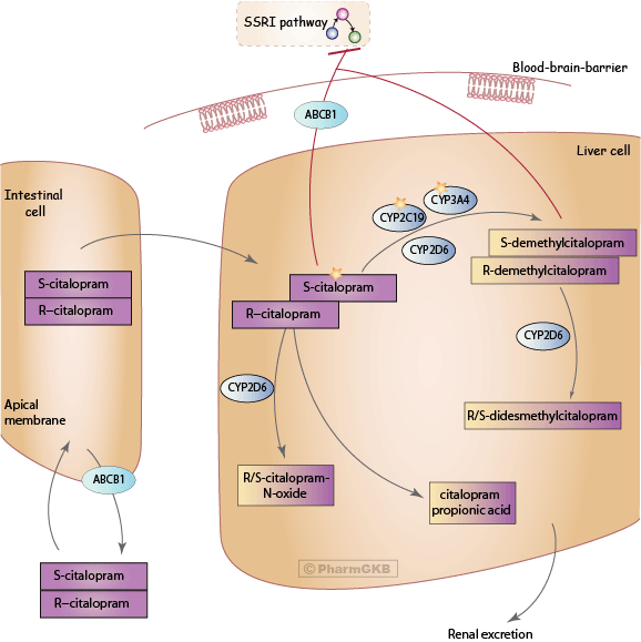 Citalopram Pathway, Pharmacokinetics
