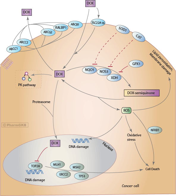 Doxorubicin Pathway (Cancer Cell), Pharmacodynamics