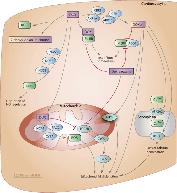 Doxorubicin Pathway (Cardiomyocyte Cell), Pharmacodynamics