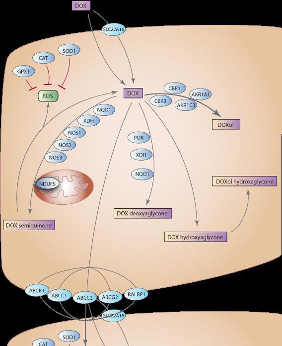 Doxorubicin Pathway, Pharmacokinetics