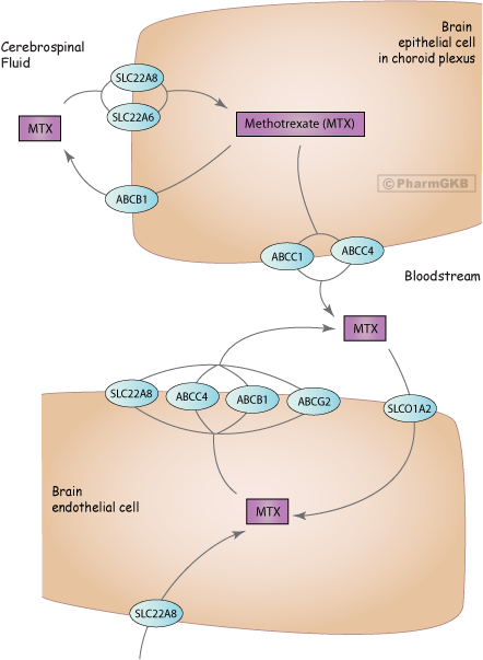 Methotrexate Pathway (Brain Cell), Pharmacokinetics