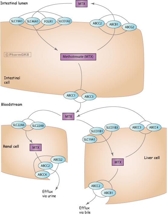 Methotrexate Pathway, Pharmacokinetics