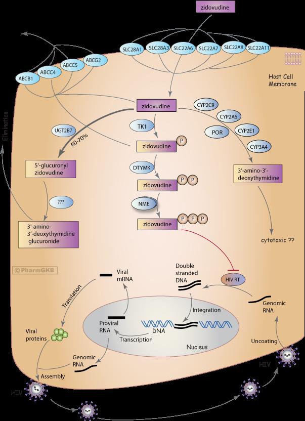 Zidovudine Pathway, Pharmacokinetics/Pharmacodynamics