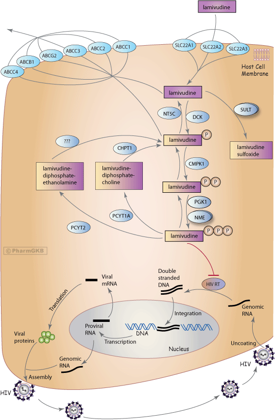 Lamivudine Pathway, Pharmacokinetics/Pharmacodynamics