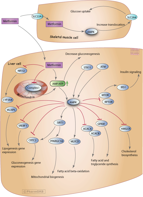 Metformin Pathway Pharmacodynamics Overview Pharmgkb