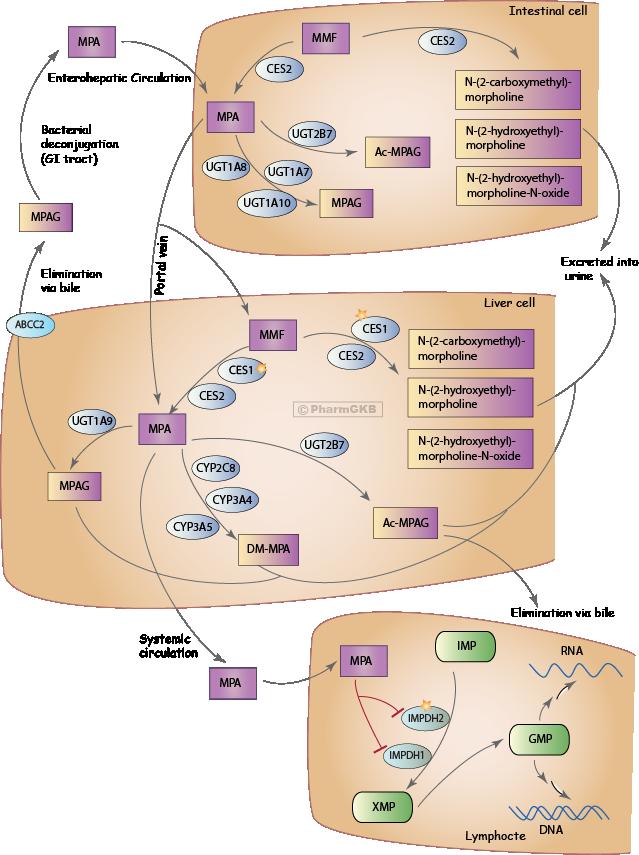 Mycophenolic acid Pathway, Pharmacokinetics/Pharmacodynamics
