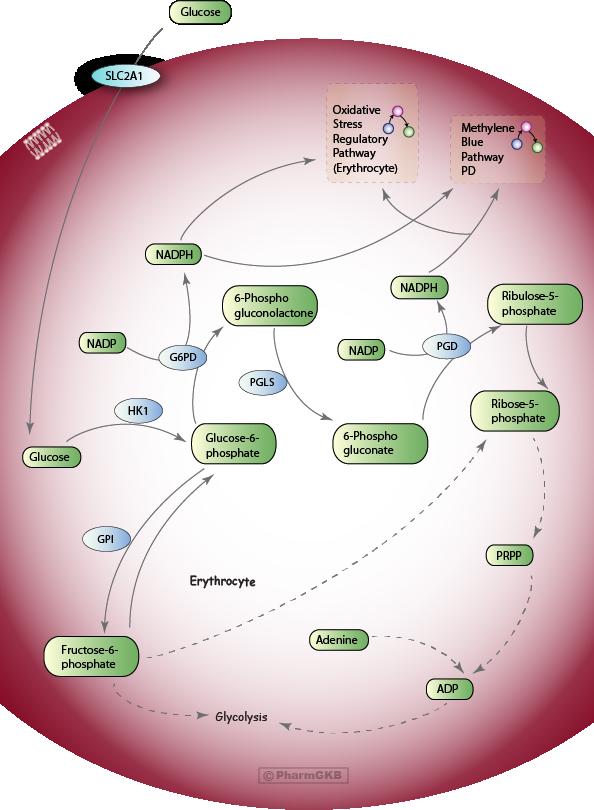 Pentose Phosphate Pathway (Erythrocyte)