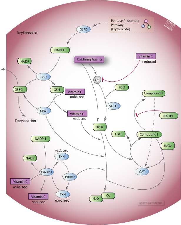 Oxidative Stress Regulatory Pathway (Erythrocyte)