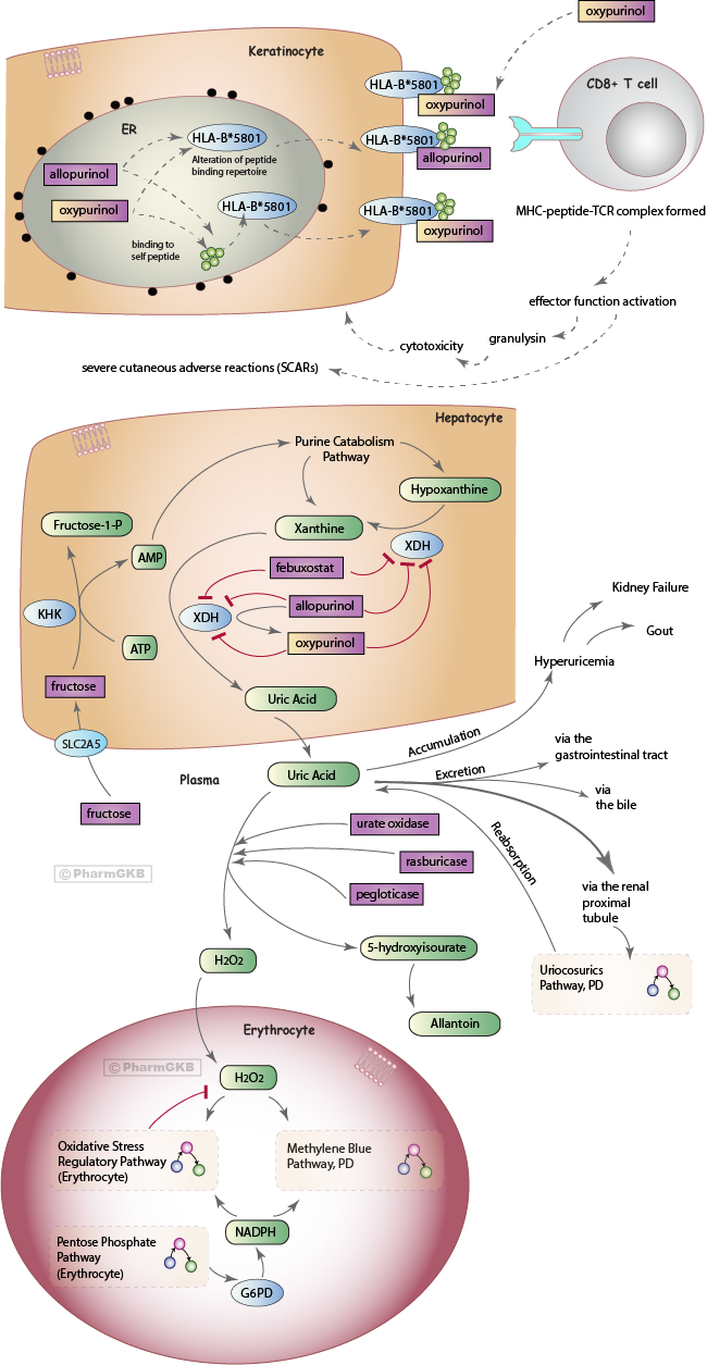 Uric acid lowering drugs pathway pharmacodynamics overview pharmgkb uric acid lowering drugs pathway pharmacodynamics diagram ccuart Choice Image
