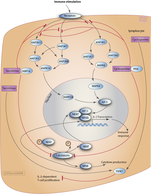 Tacrolimus/Cyclosporine Pathway, Pharmacodynamics