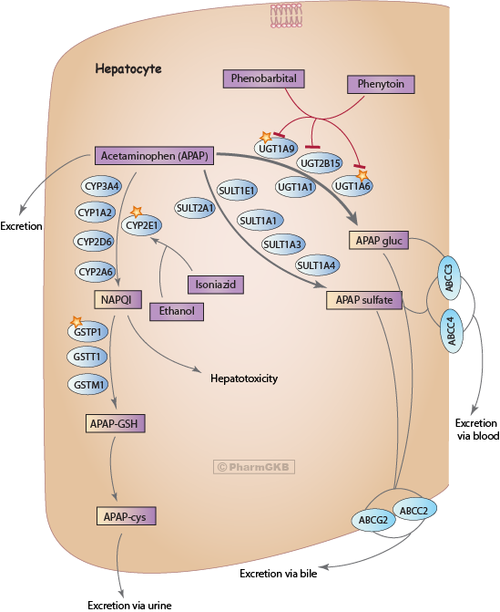 Acetaminophen Pathway (therapeutic doses), Pharmacokinetics