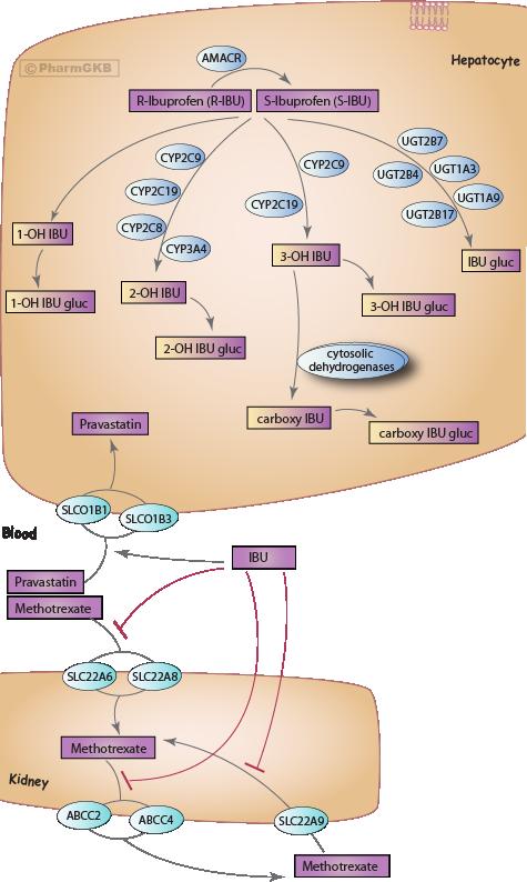 Ibuprofen Pathway, Pharmacokinetics