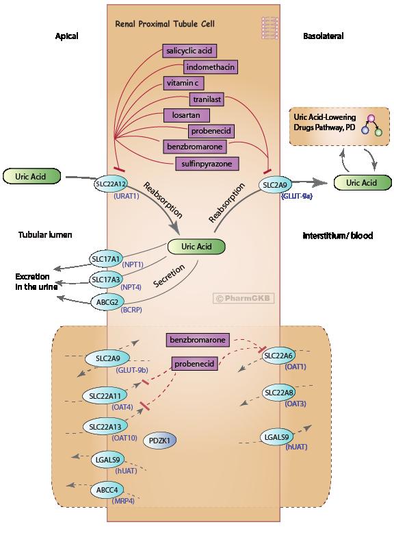 Uric Acid Pathway Uricosurics Pathway, P...