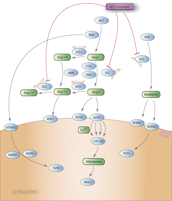ACE Inhibitor Pathway, Pharmacodynamics