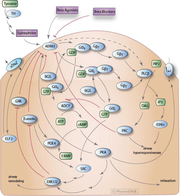 Beta-agonist/Beta-blocker Pathway, Pharmacodynamics