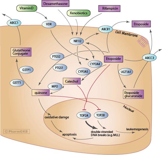 Etoposide Pathway, Pharmacokinetics/Pharmacodynamics