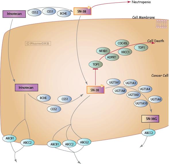 Irinotecan Pathway, Pharmacodynamics