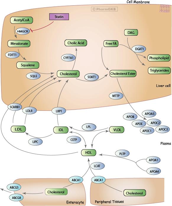 Statin Pathway, Pharmacodynamics