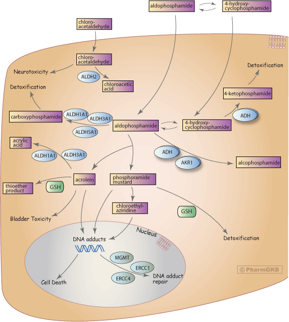 Cyclophosphamide (Cytoxan Neosar)
