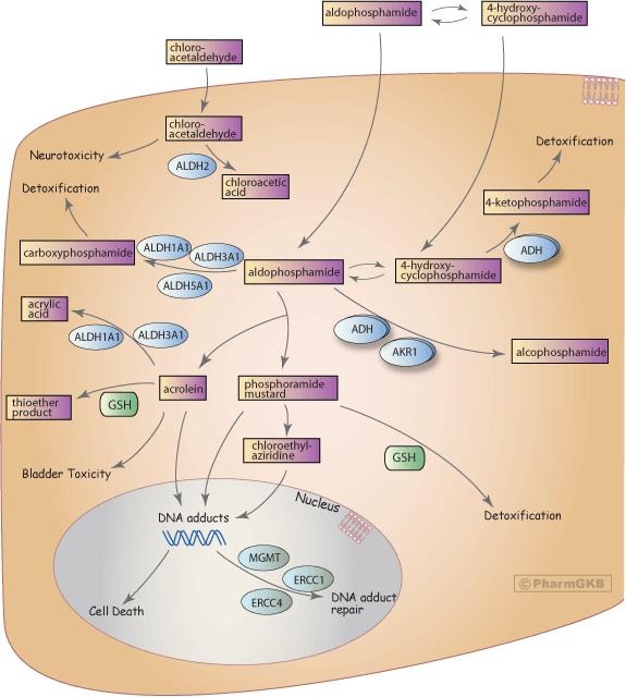 Cyclophosphamide Pathway, Pharmacodynamics