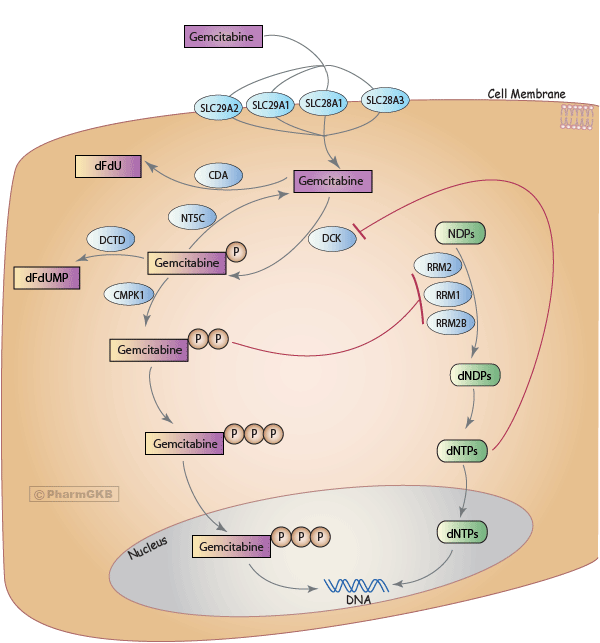 Gemcitabine Pathway, Pharmacokinetics/Pharmacodynamics