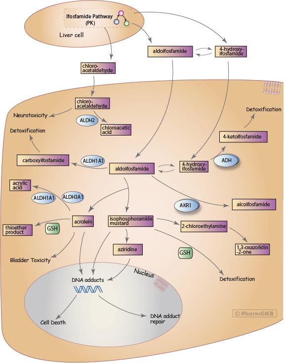 Ifosfamide Pathway, Pharmacodynamics