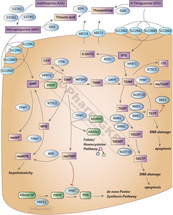 Thiopurine Pathway, Pharmacokinetics/Pharmacodynamics