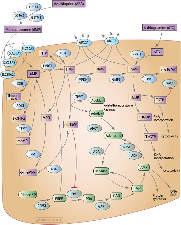 Thiopurine Pathway, Pharmacokinetics/Pharmacodynamics